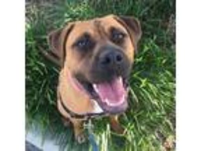 Adopt Ladybug a Brown/Chocolate Boxer / Mixed dog in Richmond, VA (21612490)