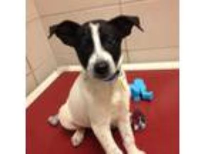 Adopt Franki a White Border Collie / Labrador Retriever / Mixed dog in
