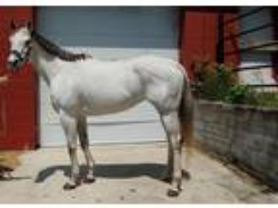 big stunning grey mare ready to breed or show
