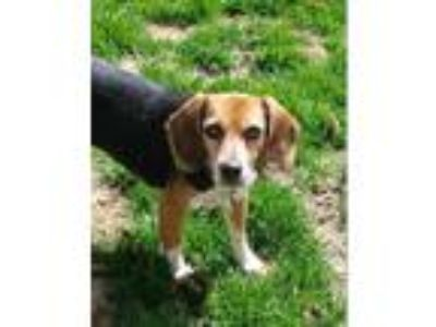 Adopt Hannah a Tricolor (Tan/Brown & Black & White) Beagle / Mixed dog in
