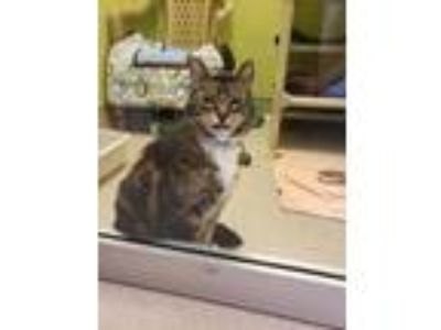 Adopt Noah a Gray or Blue Domestic Shorthair / Domestic Shorthair / Mixed cat in