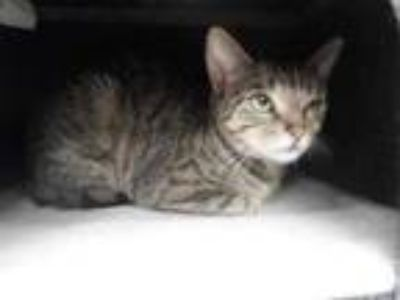 Adopt Maya a Tan or Fawn Domestic Shorthair / Domestic Shorthair / Mixed cat in