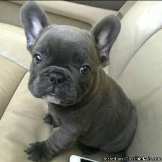 Adorable, male and female, friendly, loving, French Bulldog puppies (