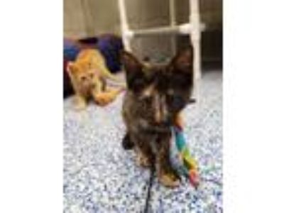 Adopt Kentucky a Tortoiseshell Domestic Shorthair (short coat) cat in Commerce