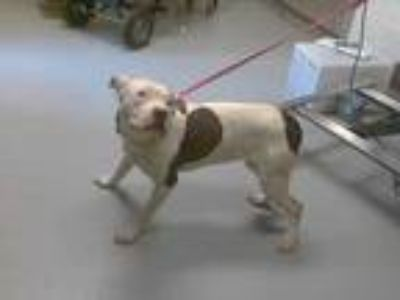 Adopt a White - with Gray or Silver American Pit Bull Terrier / Mixed dog in