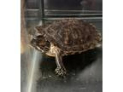 Adopt Javier - pending a Turtle - Other reptile, amphibian