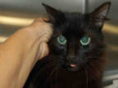 Adopt IZZIE a All Black Domestic Longhair / Mixed (long coat) cat in Tavares