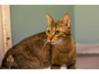 Adopt dina a Tiger Striped Domestic Shorthair (short coat) cat in Muskegon