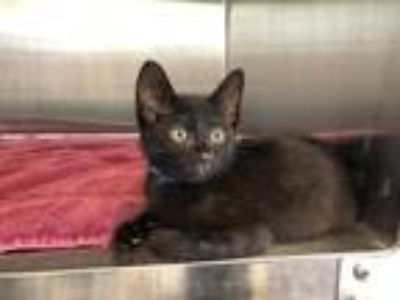 Adopt SAL a Domestic Short Hair