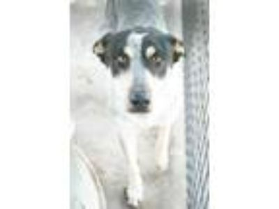 Adopt Roxanne a White Australian Cattle Dog / Shepherd (Unknown Type) / Mixed