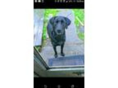 Adopt Cheif a Black Labrador Retriever / Chesapeake Bay Retriever dog in