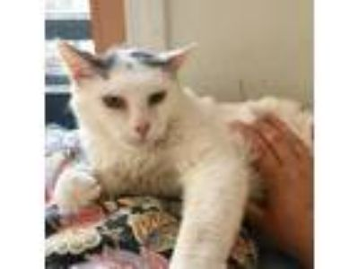 Adopt Milkshake a White (Mostly) Domestic Shorthair / Mixed (short coat) cat in