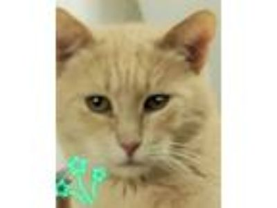 Adopt Blondie a Turkish Van