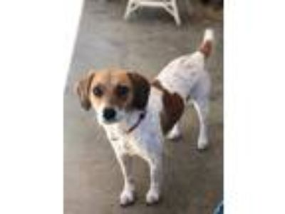 Adopt Daisy a White - with Brown or Chocolate Jack Russell Terrier / Beagle /