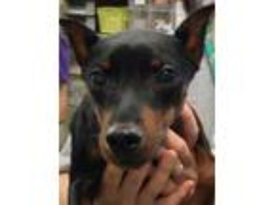Adopt LITTLE SNOOP a Black Miniature Pinscher / Mixed dog in San Antonio