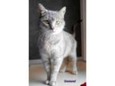 Adopt Diamond a Domestic Short Hair