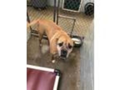 Adopt Brandon a Brown/Chocolate Boxer / Mixed dog in Florence, AL (24840124)