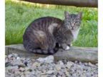 Adopt Lint a American Shorthair