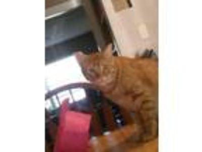 Adopt Pumpkin a Orange or Red Domestic Shorthair / Mixed cat in Grand Prairie