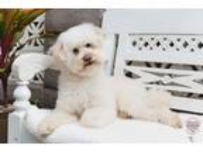 Adopt Marlie a White Bichon Frise / Poodle (Miniature) / Mixed dog in Inglewood