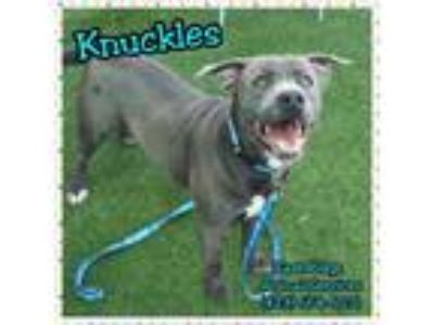Adopt Knuckles a Pit Bull Terrier