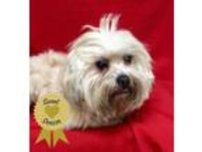 Adopt Wayne a Tan/Yellow/Fawn Lhasa Apso / Mixed dog in Tampa, FL (22039892)