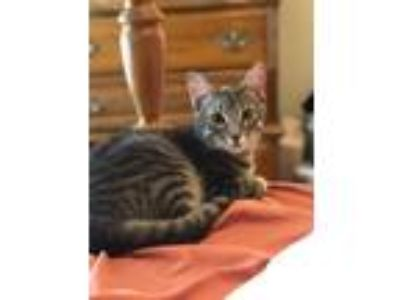 Adopt Swizzler a Spotted Tabby/Leopard Spotted American Shorthair / Mixed cat in