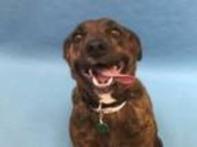 Adopt Brie a Dutch Shepherd, Mixed Breed