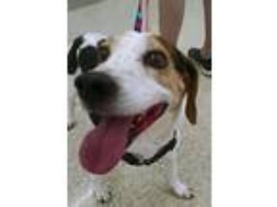 Adopt Buddy the Beagle a Black - with White Beagle / Jack Russell Terrier dog in