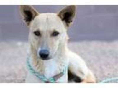 Adopt JESTER a Tan/Yellow/Fawn - with White German Shepherd Dog / Mixed dog in
