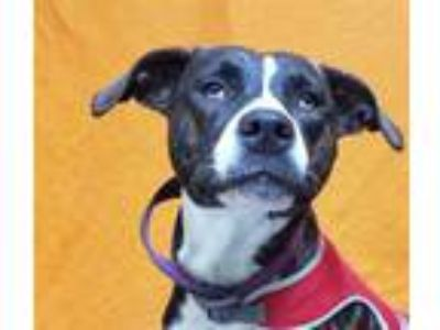Adopt HONEY a Brindle - with White American Pit Bull Terrier / Mixed dog in