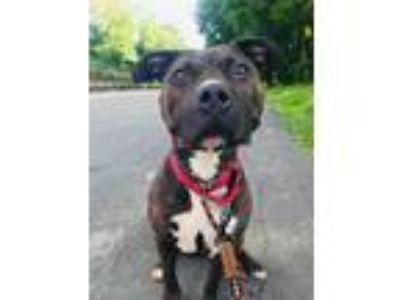 Adopt Demi (OS) (AKA Diamond) a Pit Bull Terrier
