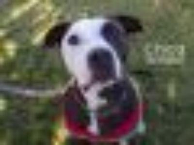 CHICA American Bulldog - Mixed Breed Dog