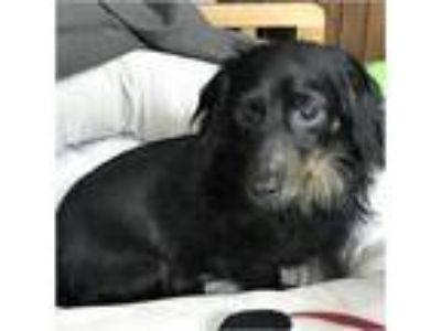Adopt Bentley a Black - with White Dachshund / Mixed dog in Tavares