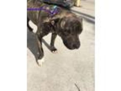 Adopt EMMET a Pit Bull Terrier, Mixed Breed