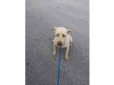 Adopt ADOPTED a Tan/Yellow/Fawn Labrador Retriever / Mixed dog in Fort Worth