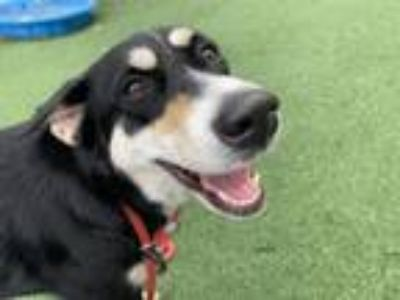 Adopt Cassidy a Shepherd, Mixed Breed