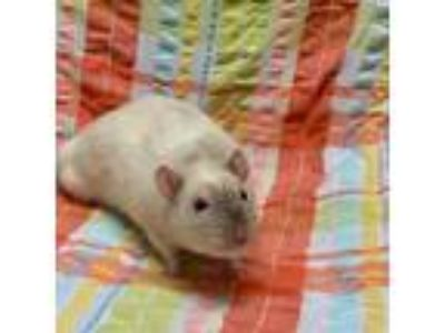 Adopt Koda a White Rat / Rat / Mixed small animal in Racine, WI (25892102)