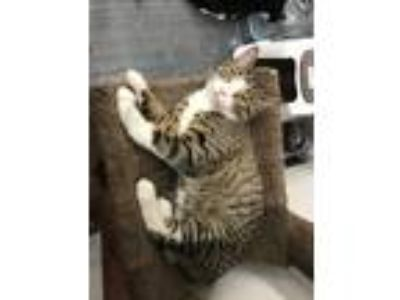 Adopt Tuttles a Brown Tabby Domestic Shorthair (short coat) cat in Monroe