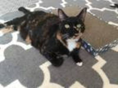 Adopt Laurel a Tortoiseshell Domestic Shorthair / Mixed cat in San Diego