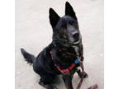 Adopt Asher a Black Shepherd (Unknown Type) / Mixed dog in Richmond