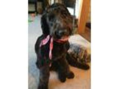 Adopt Smokey a Old English Sheepdog, Standard Poodle