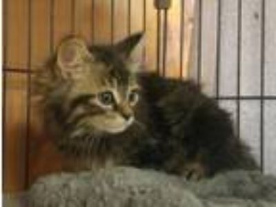 Adopt Mo a Domestic Long Hair, Domestic Short Hair