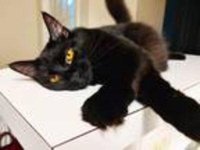 Adopt Emmylou a Black (Mostly) Domestic Longhair cat in Antioch, TN (25902837)