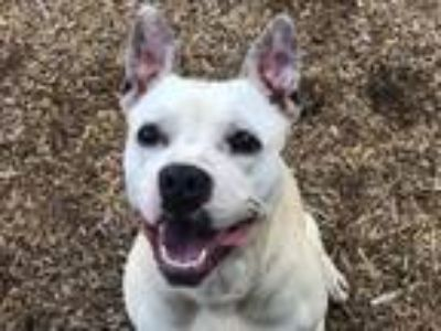 Adopt KODY a White - with Tan, Yellow or Fawn American Pit Bull Terrier / Mixed