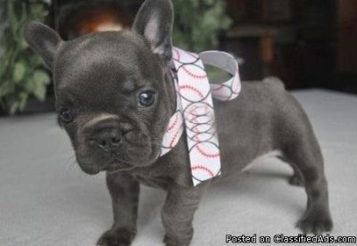 Affable French Bulldog Puppies