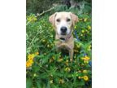 Adopt Jaycee a Brown/Chocolate - with White Labrador Retriever / Terrier