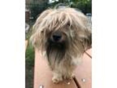 Adopt Capo a Yorkshire Terrier