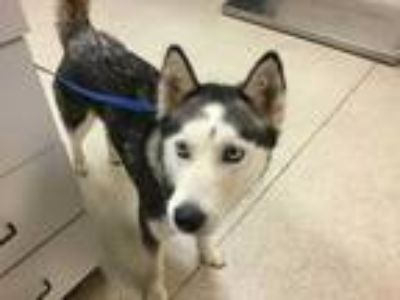 Adopt Dog a Black - with White Husky / Mixed dog in Jurupa Valley, CA (25856623)