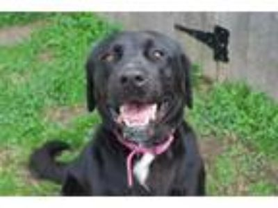 Adopt Ruth a Black Labrador Retriever / Mixed dog in Newton, KS (23134284)